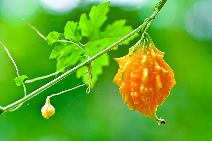 "Фото. Спелый плод Momordica charantia. Не правда ли похоже на ""огурец""?"