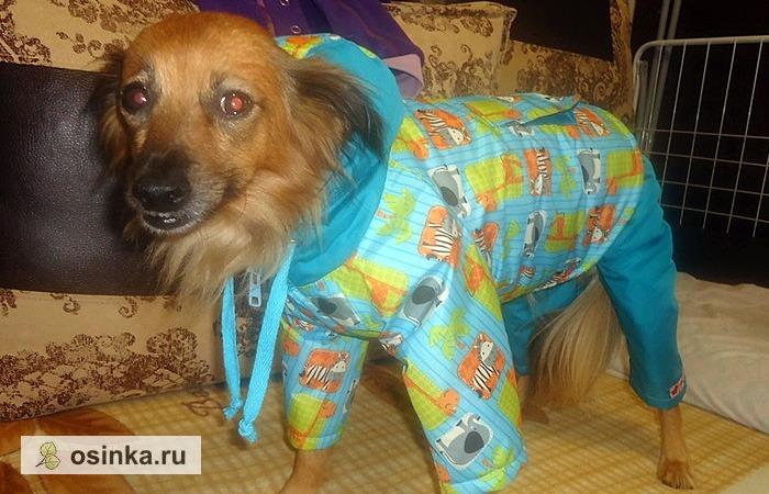 Фото. Многие портнихи долго не решаются начать шить для собак - уж слишком необычные выкройки и непривычные пропорции. Но если начнут... Автор этого милого комбинезона - Lizaus .