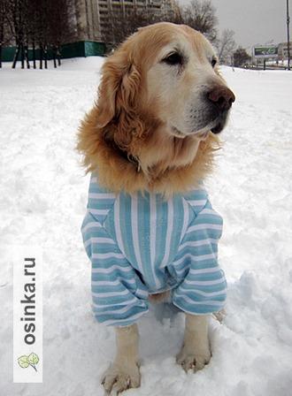 Фото. Трикотажный комбинезон для прогулок можно сшить их старой толстовки. Собаке удобно - хозяйка довольна! Автор - просто Мария .